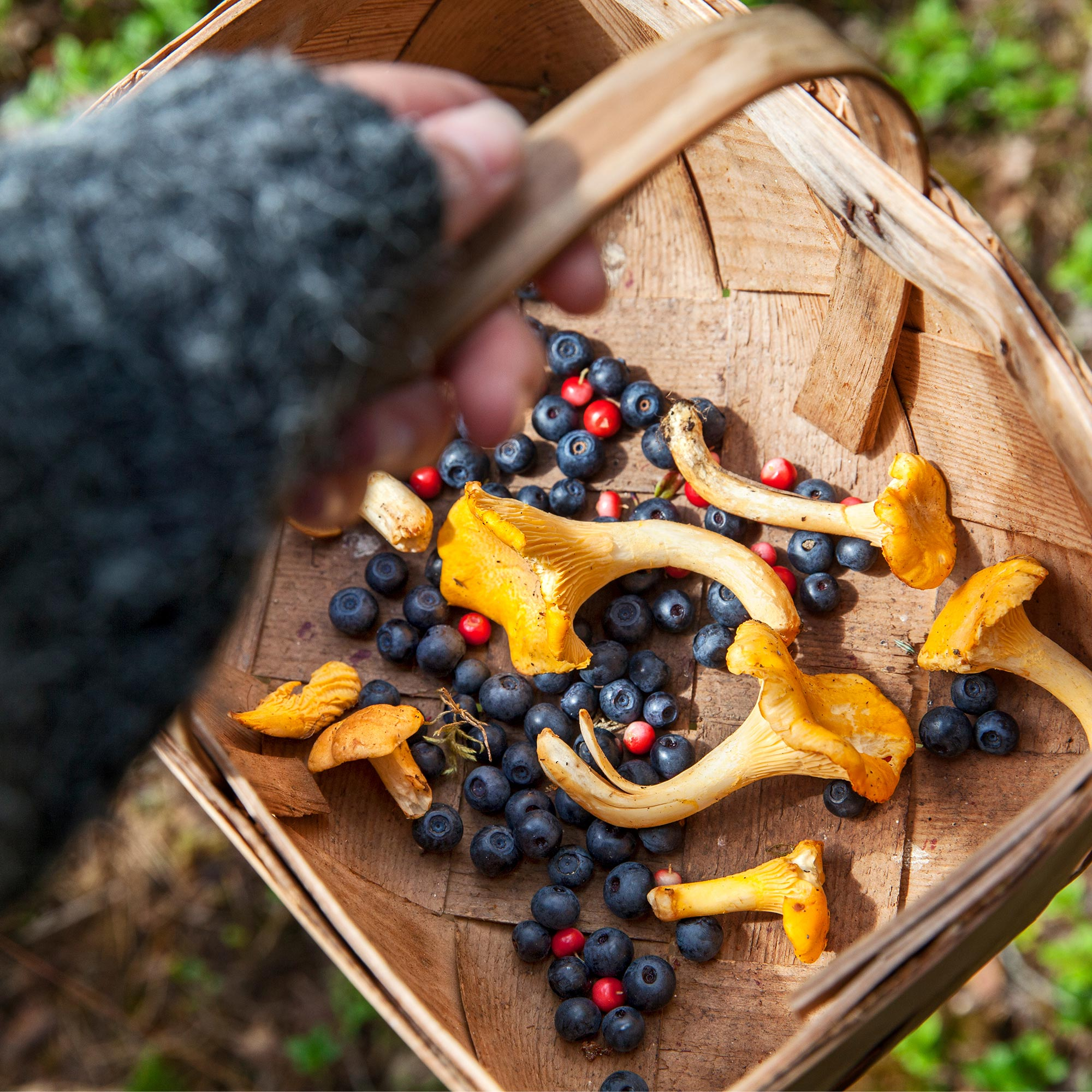 Child holding basket with berries and chanterelles.
